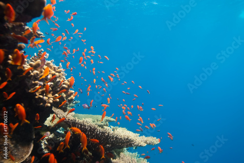 Canvas Prints Coral reefs A school of Lyretail anthias (Pseudanthias squamipinnis) over a