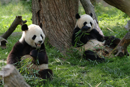 Giant pandas in a field withs trees and grass Canvas Print