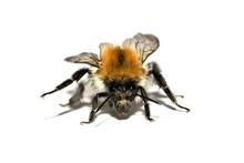 Ackerhummel/Common Carder Bee