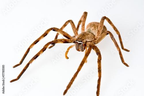 African Rain Spider