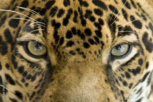 Aluminium Prints Leopard close up the eyes of a beautiful jaguar or panthera onca