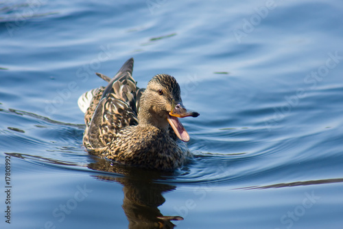 Fotografie, Obraz  Female Mallard Swimming