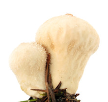 Puffball Mushroom Lycoperdon Perlatum On White