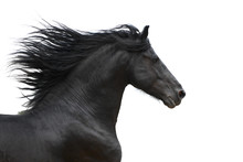 Portrait Of Galloping Frisian Horse On White Background