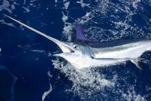 Beautiful White Marlin Real Bi...