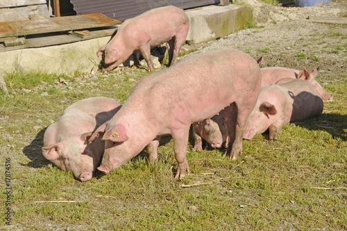 Cadres-photo bureau Olive Schweine