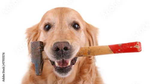 chien golden retriever avec un marteau Fototapete