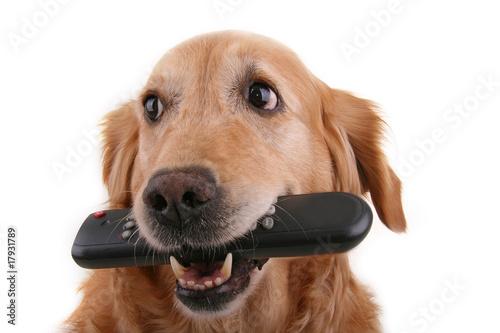 Foto  chien golden retriever et télécommande