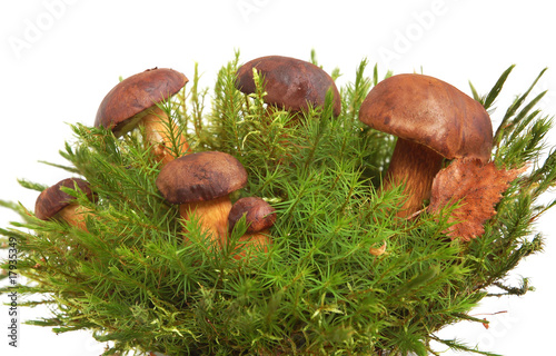 King boletus edulis Wallpaper Mural