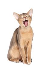 Yawning Abyssinian Cat