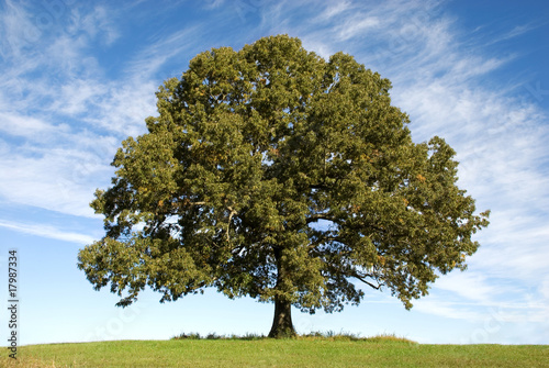 Fototapeta Large Oak Tree with Blue Sky obraz