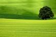 canvas print picture - Baum im Feld