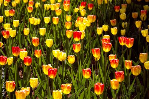 Foto auf Gartenposter Tulpen tulps field