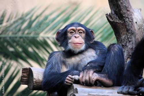 Papel de parede Schimpanse