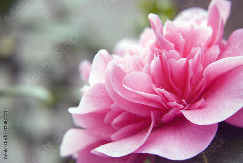 Photo Camelia flower