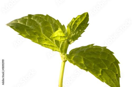 Fotomural planta aromatica de la menta