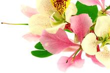 Fleur Bauhinia Orchidée Fond Blanc