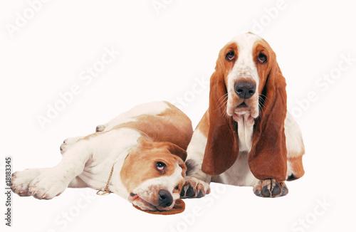 Photo deux chiens basset hound en studio sur fond blanc