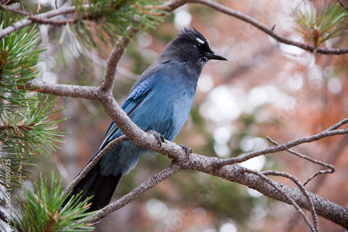 Photo Stands Roe Stellerl's Jay