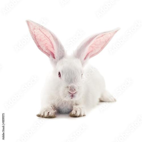 Fotografie, Obraz  rabbit