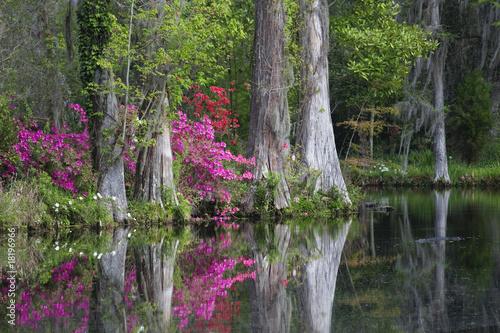 Fotografie, Obraz  Live Oaks and colorful azaleas in Charleston South Carolina.
