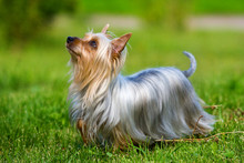 Australian Silky Terrier On Gr...