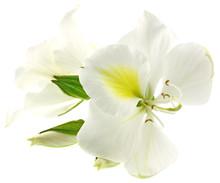Fleurs Blanches Bauhinia Fond Blanc