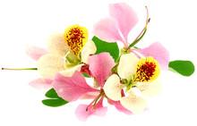 Fleurs Panachées Bauhinia Fond Blanc