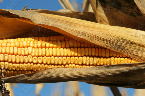 Valokuva  ripe ear of corn in husk ready for harvest