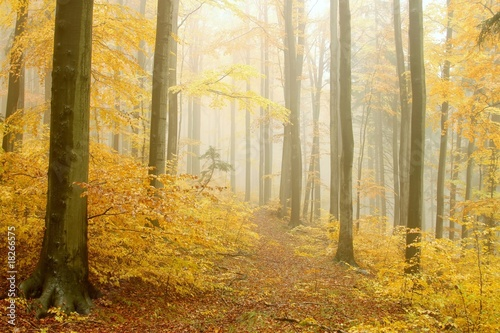 Papiers peints Foret brouillard Path leading through the autumnal forest in dense fog