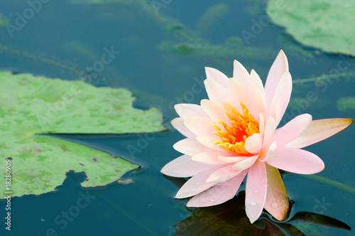 Wall Murals Water lilies Pink water lily