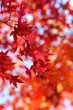 canvas print picture Japanese maple leaves in autumn colors