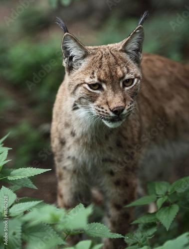 Close-up portrait of an Eurasian Lynx (Lynx lynx). #18302928