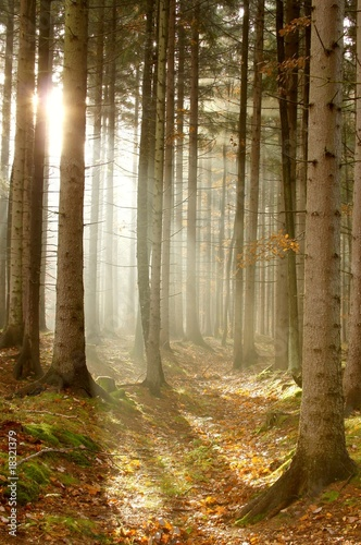 Papiers peints Foret brouillard Light of the rising sun enters the beautiful coniferous forest