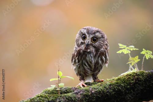 Photo sur Toile Chouette Tiny Owl