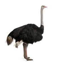 Male Ostrich Standing In Front...