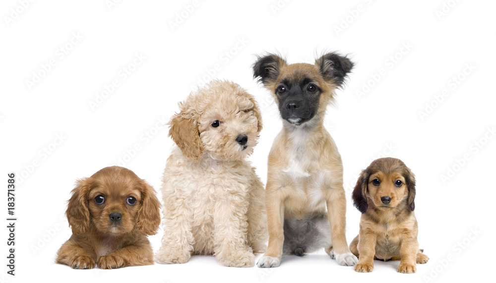 Fototapety, obrazy: Group of puppy dogs in front of white background, studio shot