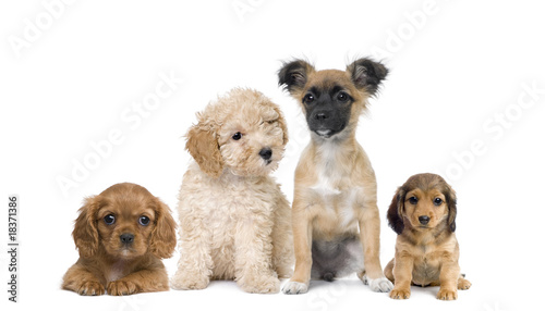 Group of puppy dogs in front of white background, studio shot Canvas Print