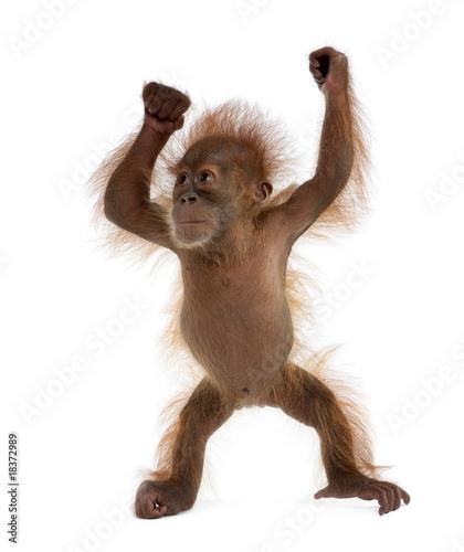In de dag Aap Baby Sumatran Orangutan, standing in front of white background