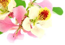 Fleurs Bauhinia Coin Page Fond Blanc