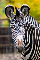Fototapeta na wymiar Zebra in Moscow zoo