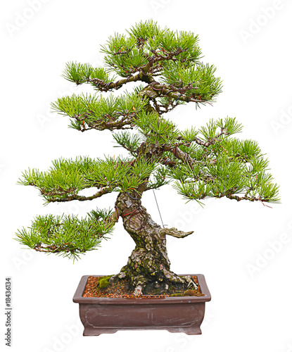 Wall Murals Bonsai japanese black pine bonsai tree