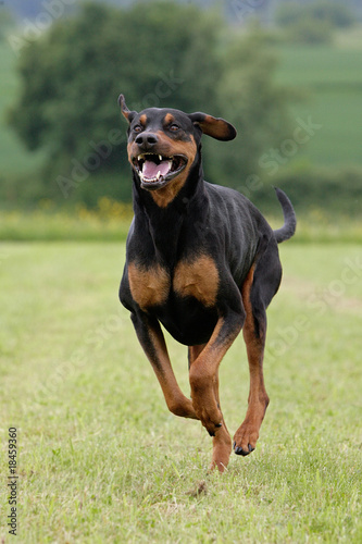 rennender Dobermann Canvas Print