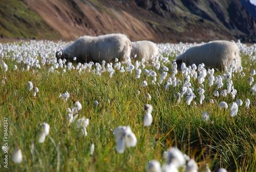 Keuken foto achterwand Ontspanning mouton