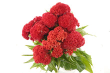 Bright Red Cockscomb Bouquet