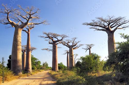 In de dag Baobab Baobabs forest