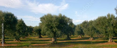 In de dag Olijfboom ulivo
