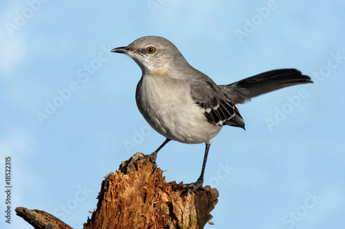 Canvas Print Northern Mockingbird (Mimus polyglottos)