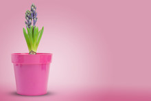 Fleur Jacinthe (hyacinthe) Hya...