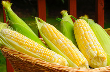 Basket Of Sweetcorn, Some Ears Husked, Some Unhusked